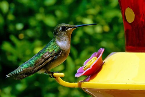Hummingbird w/macro