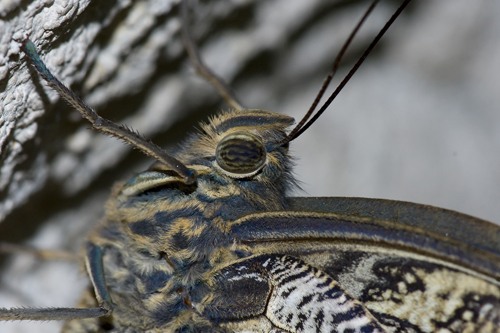Macro Mothra